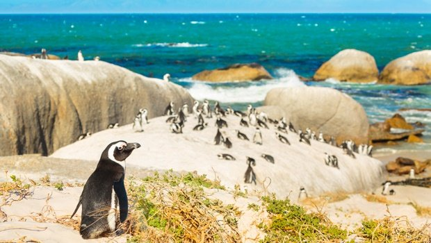 penguins,dassen island,south africa