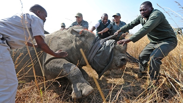 While KZN MEC Sihle Zikalala (second from right) helped with a rhino capture after the press conference on Tuesday morning, the Pietermaritzburg high court declared the ANC provincial conference, at which he was elected the provincial chair, invalid.