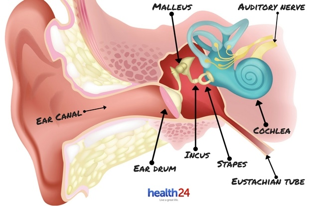ear anatomy divisions how the ear hears mondegreen