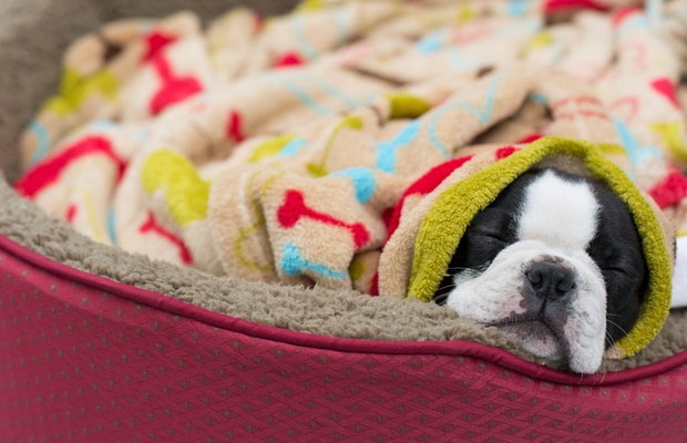 boston terrier in pet bed