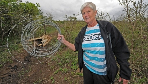 Gail Gayer holds up a coil of wire found wrapped around trees near the mutilated giraffe in Bisley Nature Reserve on Wednesday.