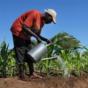 Bilharzia often affects agricultural workers