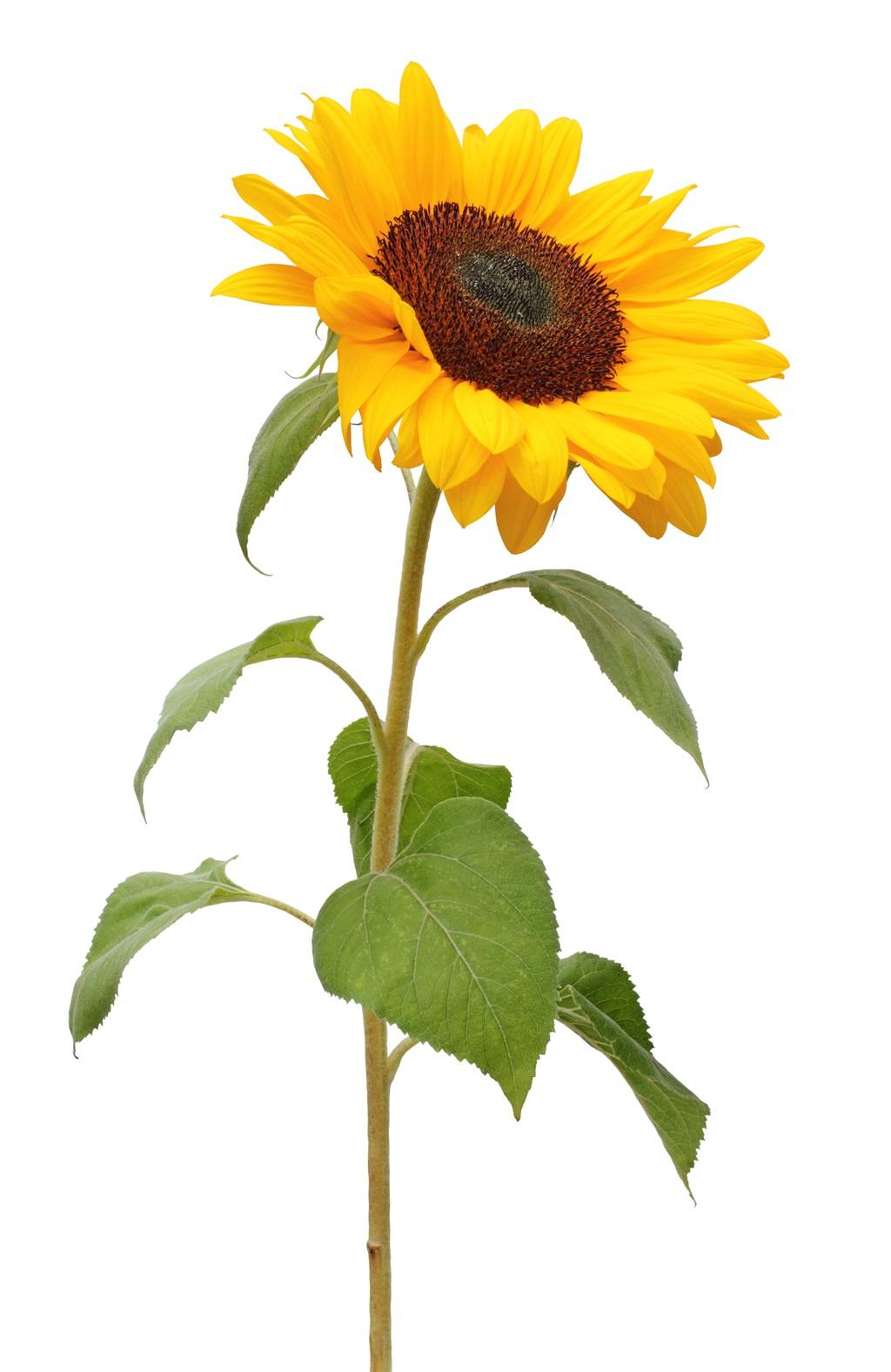 Sonneblom saad word veral vir die vervaardiging va
