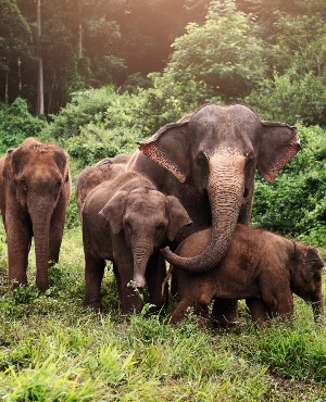 A family of Asian elephants. (PHOTO: Getty Images)