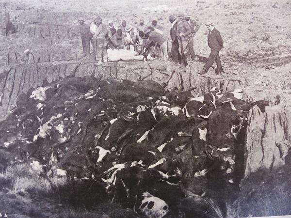 Beeste met runderpes word gedurende die runderpes-