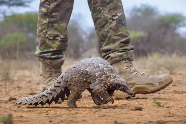 Armed guard accompanying pangolin on evening walk