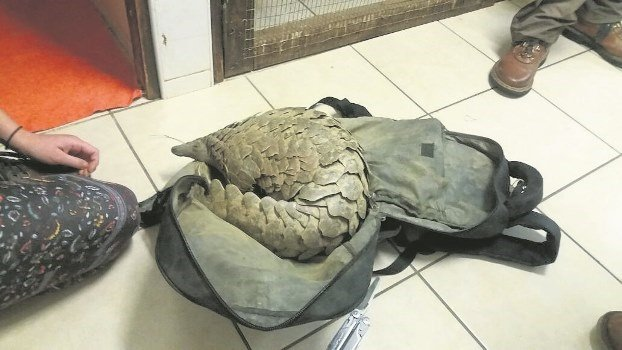 The pangolin recovered by police, nicknamed Maritz, died on Monday.