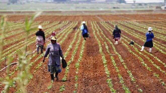 Farm labourers work in a field at a farm in Klippoortjie, east of Johannesburg. Picture: Siphiwe Sibeko/Reuters