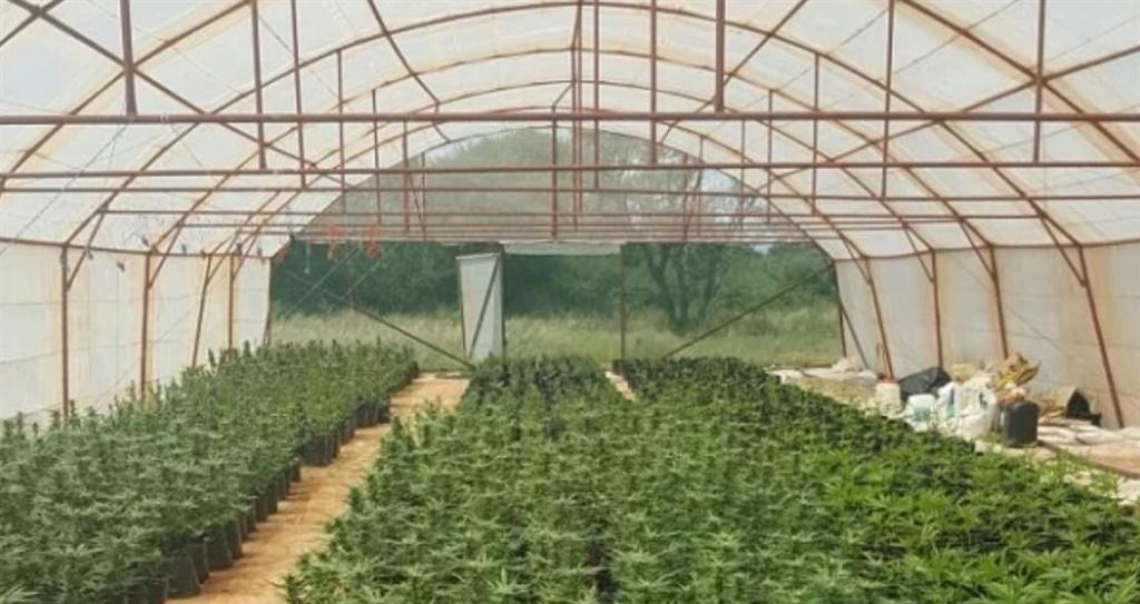 Dagga plants growing in a tunnel. Photo: Landbouw