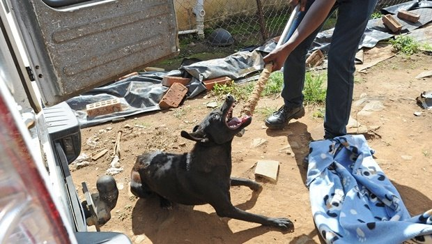 A Society for the Prevention of Cruelty to Animals (SPCA) employee removes one of the stray dogs from the backyard of the Mncube family of Imbali.