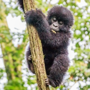 baby mountain gorilla playing in a tree