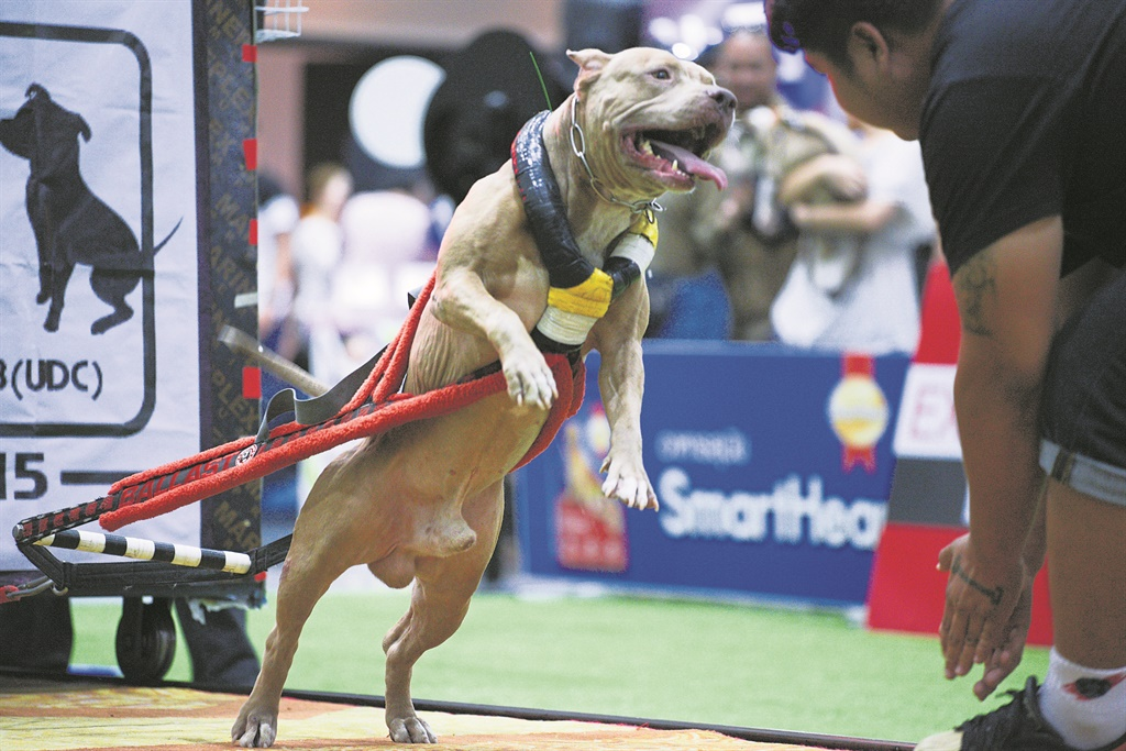 A Pitbull dog weight pulling during UDC Weight Pul