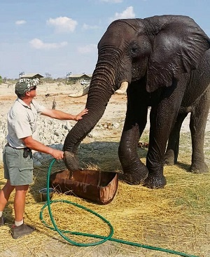 Elephant Sands Lodge manager Mike Toth gives Bennie the wild bull elephant some water to drink.