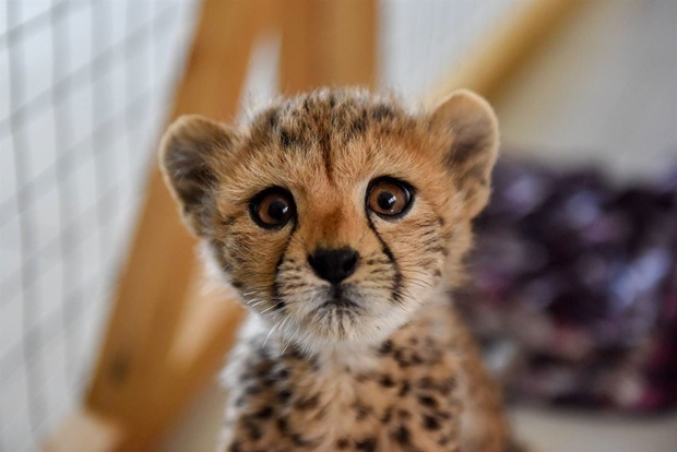 One of the cheetah cubs rescued in Somalia. (Cheetah Conservation Fund)