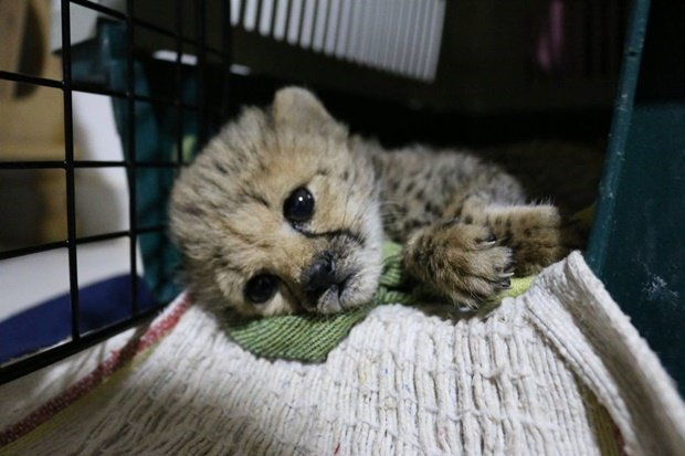 Food and equipment are needed to keep the cheetahs