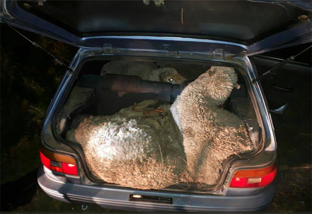Stock Theft In Sa  Thieves Busted Stealing 6 Large Sheep In A Toyota Tazz