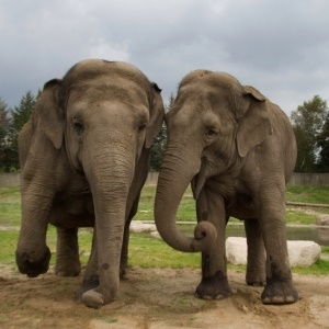elephants have cancer-fighting gene