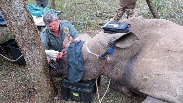 A Zululand wildlife vet working on iThemba in October. The wounded rhino died suddenly last Sunday night.