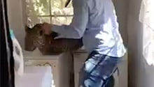 WATCH: There's a leopard in my laundry! Vet catches big cat in Benoni home