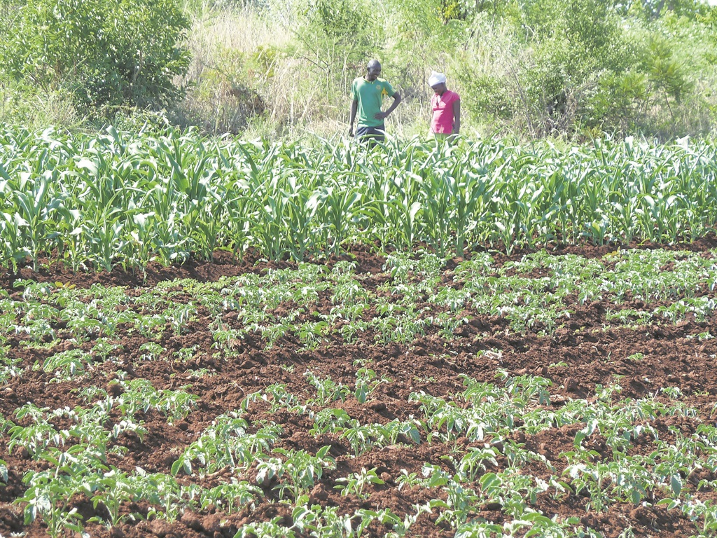 The redistribution of farms should prioritise farm dwellers and workers, enable the creation of jobs and multiple livelihood opportunities for the black majority, women in particular. So far, South African land redistribution has failed to yield such outcomes.
