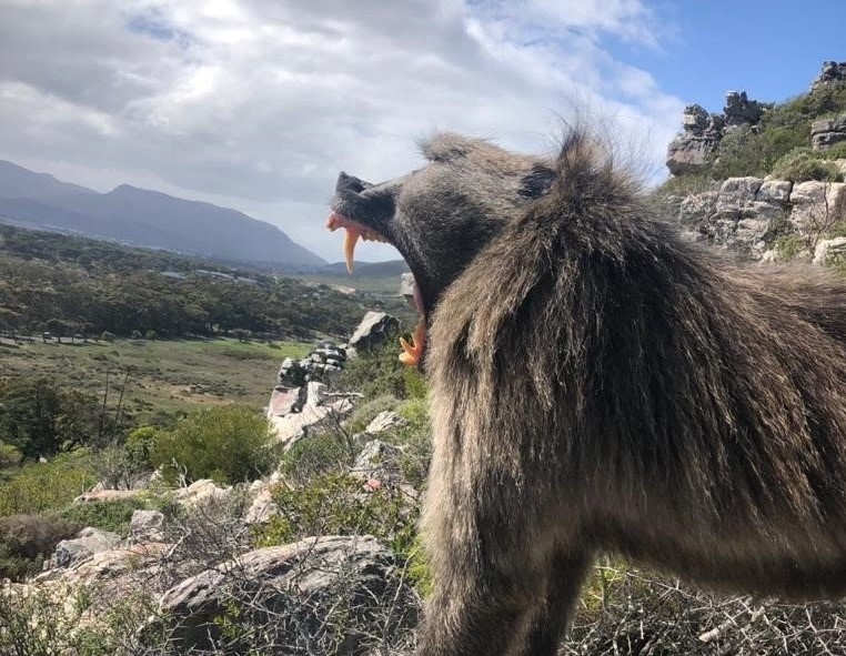 Critics allege 'secretive' operations against Cape Peninsula baboons - News24