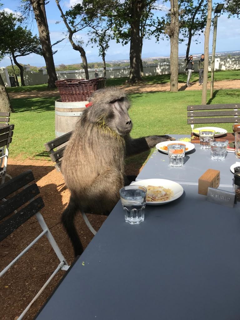 baboon sitting at a restaurant table