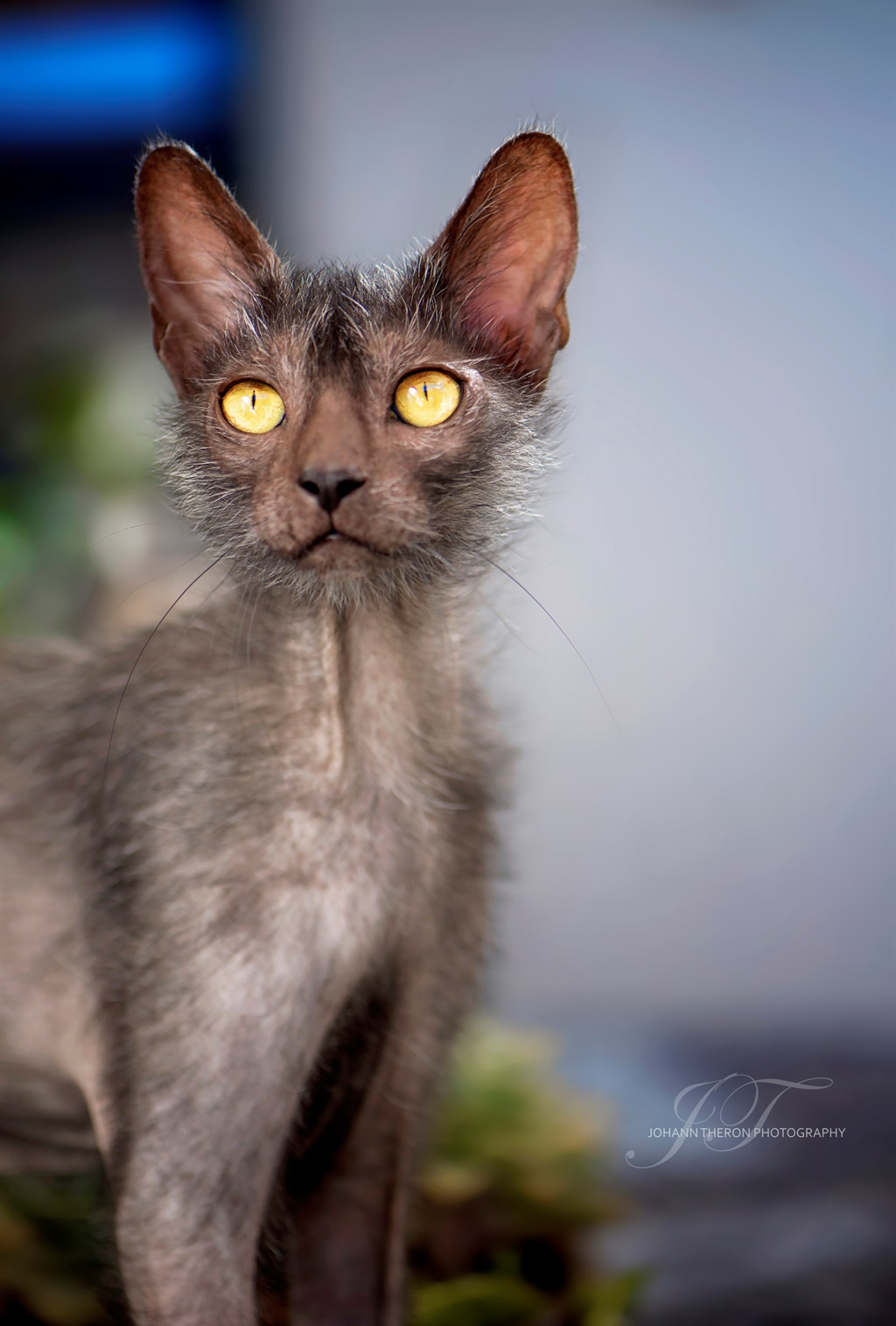 The 5 rarest cat breeds in South Africa, including a ...