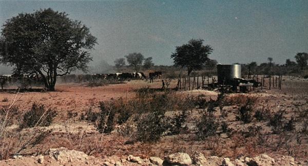 'n Trop trekbeeste by 'n suiping in die Kalahari.