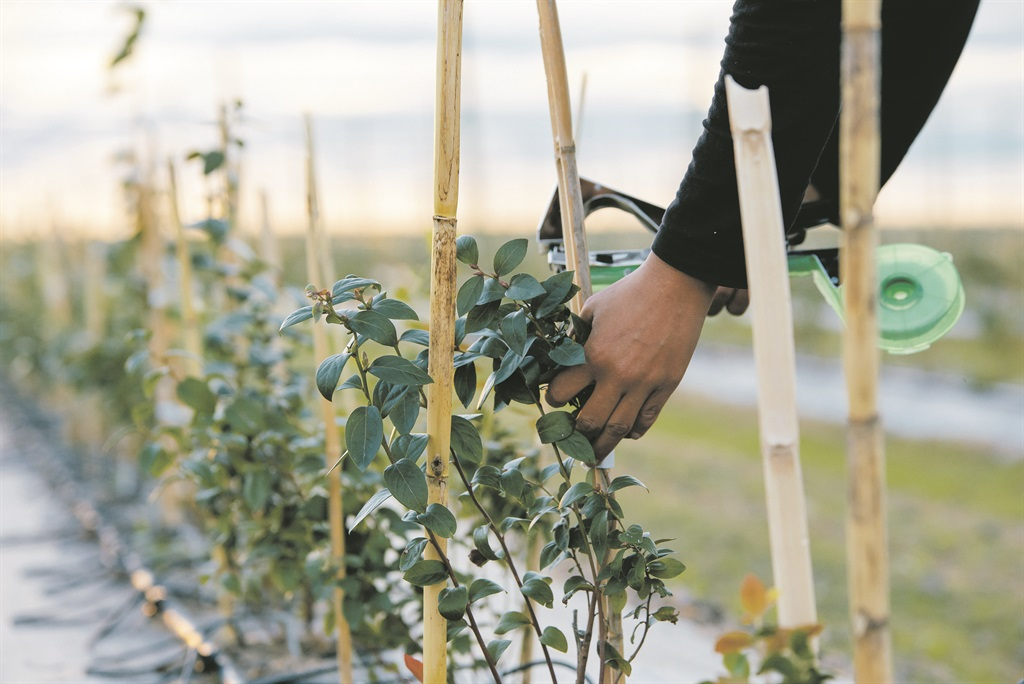 Owning  blueberry bushes allow you to harvest some fruit and honey for you and yourself and friends, but buying into large-scale farming of these products will ensure a long-term investment. Picture: Fedgroup