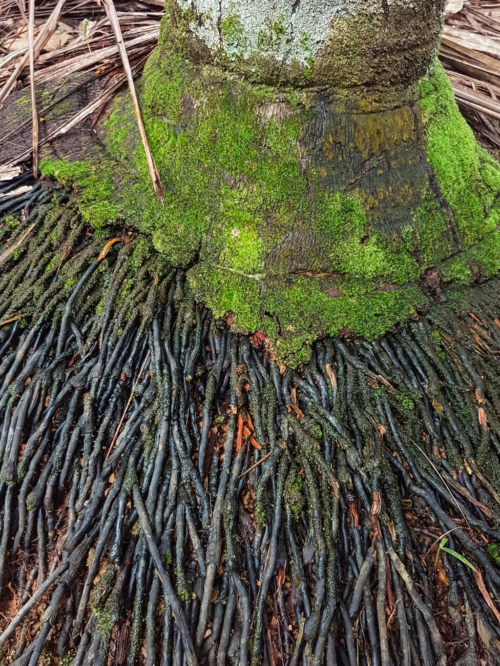 roots coming out of a palm tree