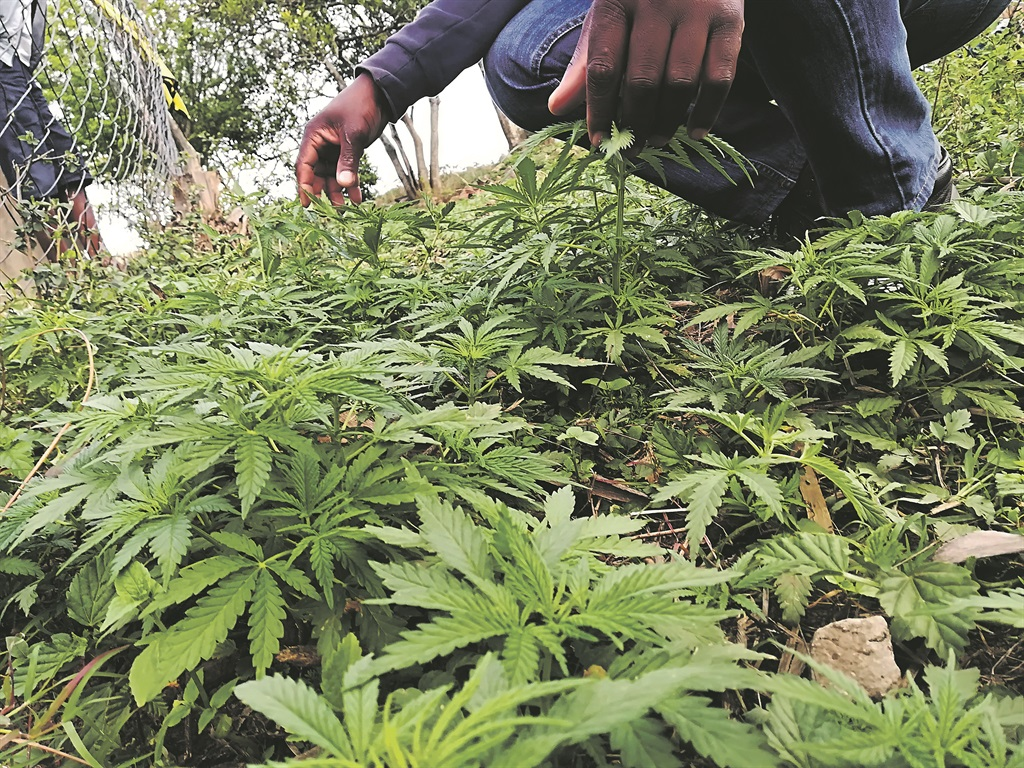 Dagga growers in Lusikisiki say they aren't pleased with the Constitutional Court's judgment this week because it will affect their business. Picture: Lubabalo Ngcukana