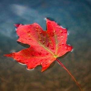 Can Maple Leaves Help You Look Younger Health24