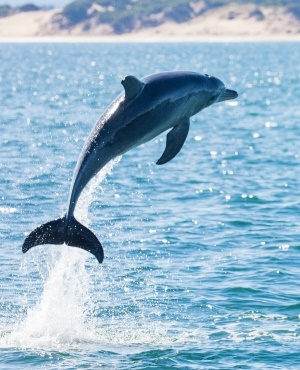 Dolphin. (Photo: Getty Images/Gallo Images)