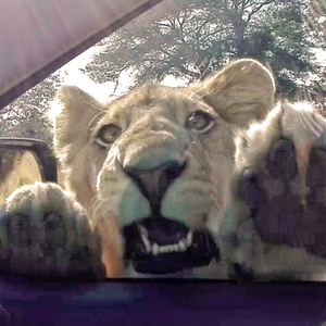 This Kruger lion really wanted to get into a visitor's car. (Photo: Latest Sightings)