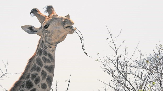 A giraffe munches on a tasty thorn tree in Bisley Nature Reserve.
