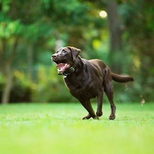 Bad news: Your chocolate Labrador won't live as long as other Labs