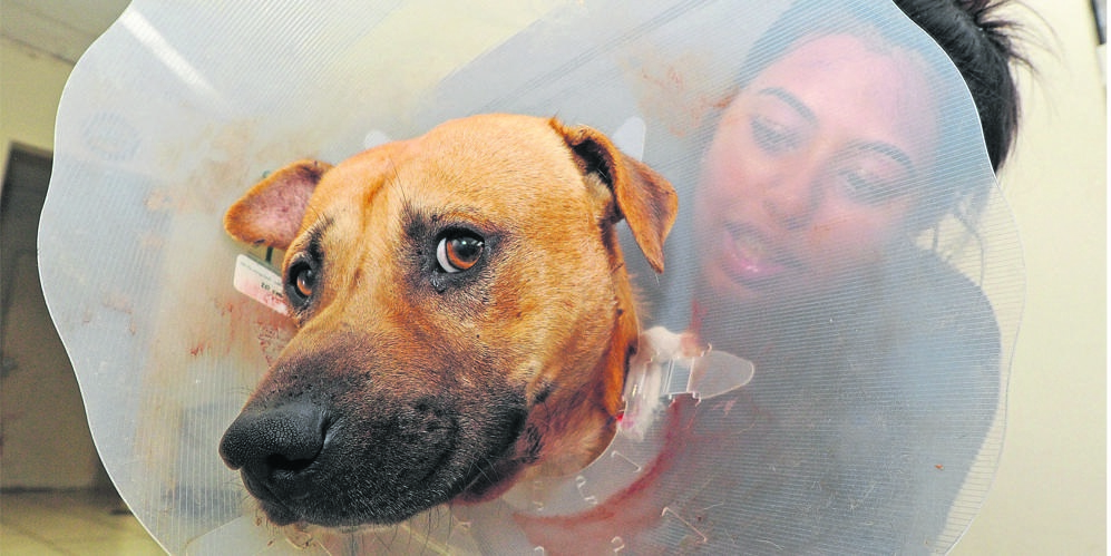 Pietermaritzburg SPCA Kennel superintendent Diyaksha Maharaj sits with the Staffordshire Bull Terrier-cross that was shot in Northdale by its owner's neighbour on Monday night.