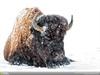 'Wintering bison' by Sonya Lang