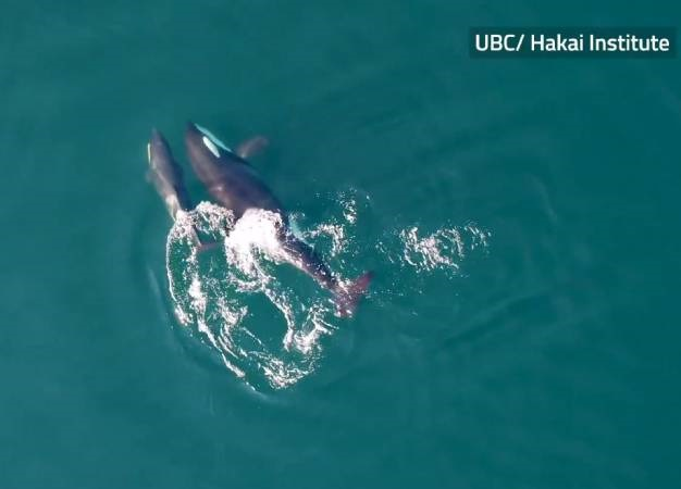 Killer whales. (Screen grab, The Canadian Press)