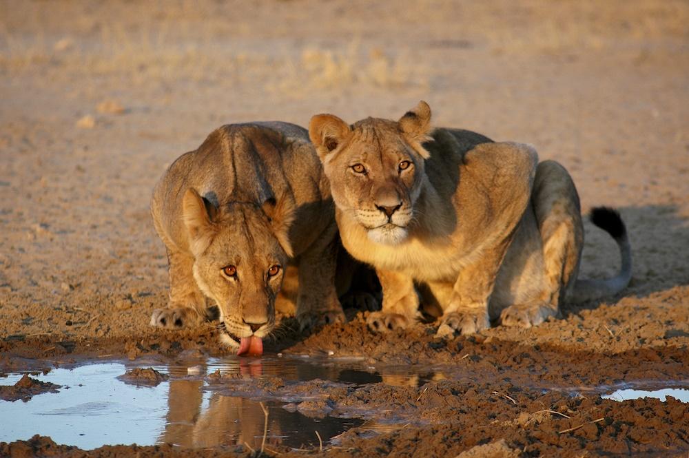 lions, pride