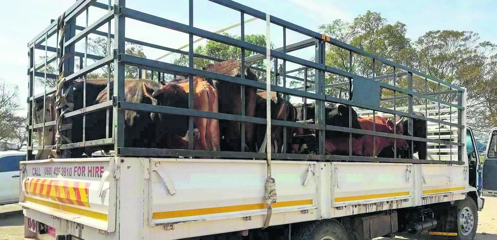PHOTO: suppliedPolice intercepted a truck coming from Matatiele that was carrying stolen cattle.