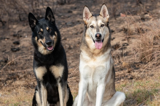 Maximus and Storm helped apprehend the suspected Table Mountain fire arsonist. (Photo: Supplied/Jackie Wernberg)