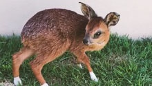 WATCH: Meet Bambi - the little Cape grysbok on the road to recovery after he was rescued from a fire