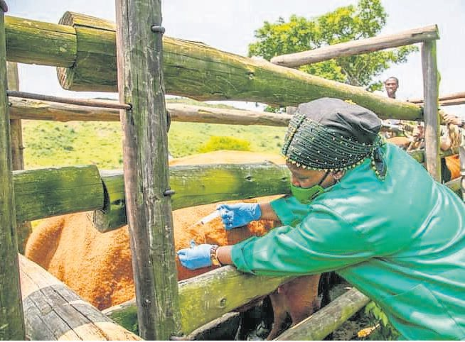 KwaZulu-Natal MEC for Agriculture and Rural Development Bongiwe Sithole-Moloi injects a cow during a Brucellosis awareness and vaccination drive in Dondotha last week.
