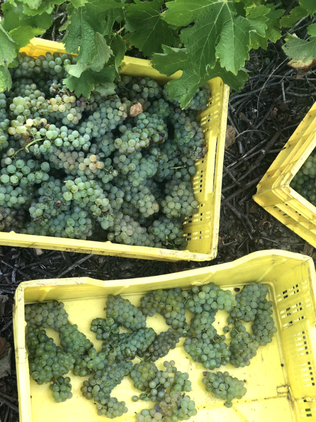 bouchard finlayson wine grapes