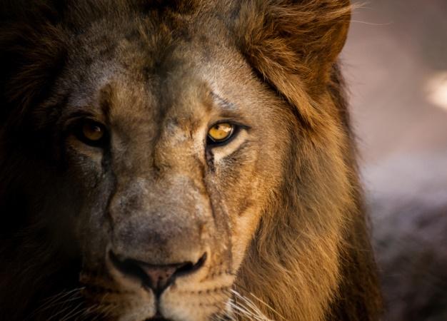 Lion. (file)