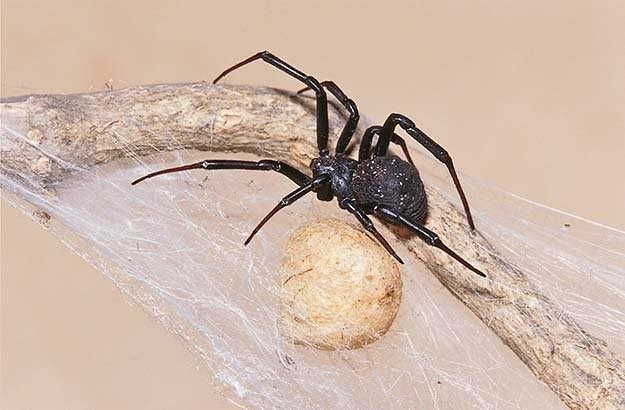 black button spider
