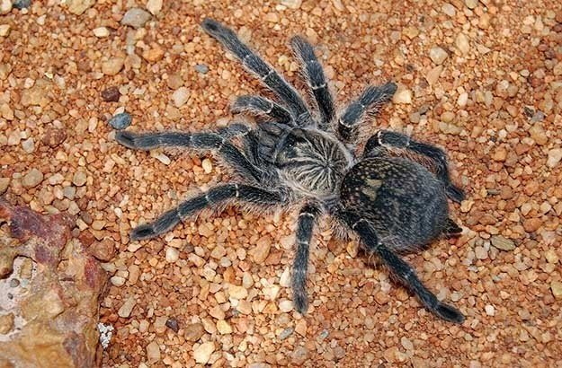 Baboon spiders can be anywhere between 13 and 90mm, but in South Africa we don't usually see a body length of anything more than 60mm.