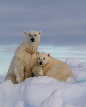 Polar bears have been terrorising inhabitants of a remote region in Russia since December. (photo:Getty/Gallo Images)