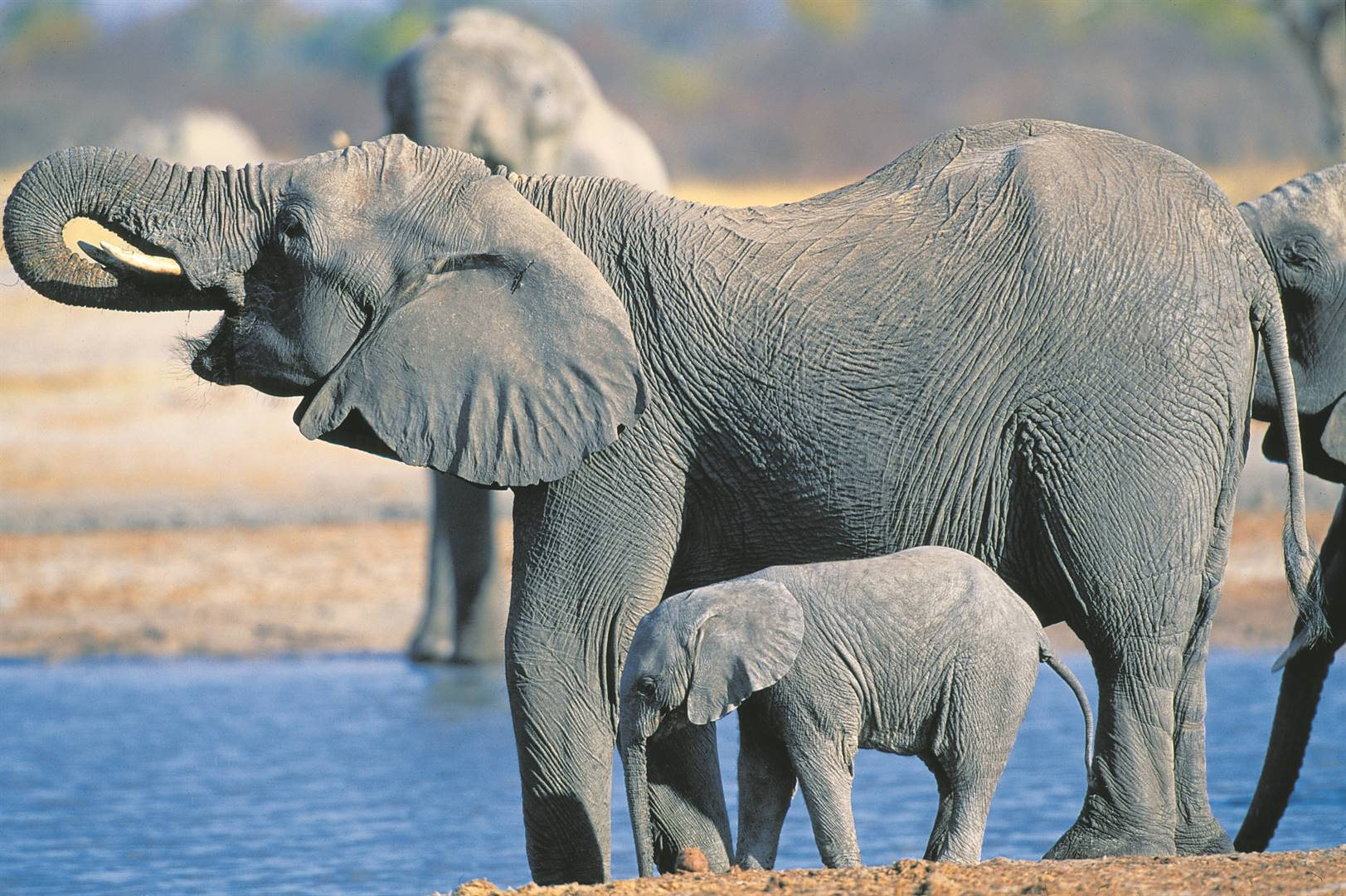 Drought causes death of dozens of elephants in Zimbabwe thumbnail
